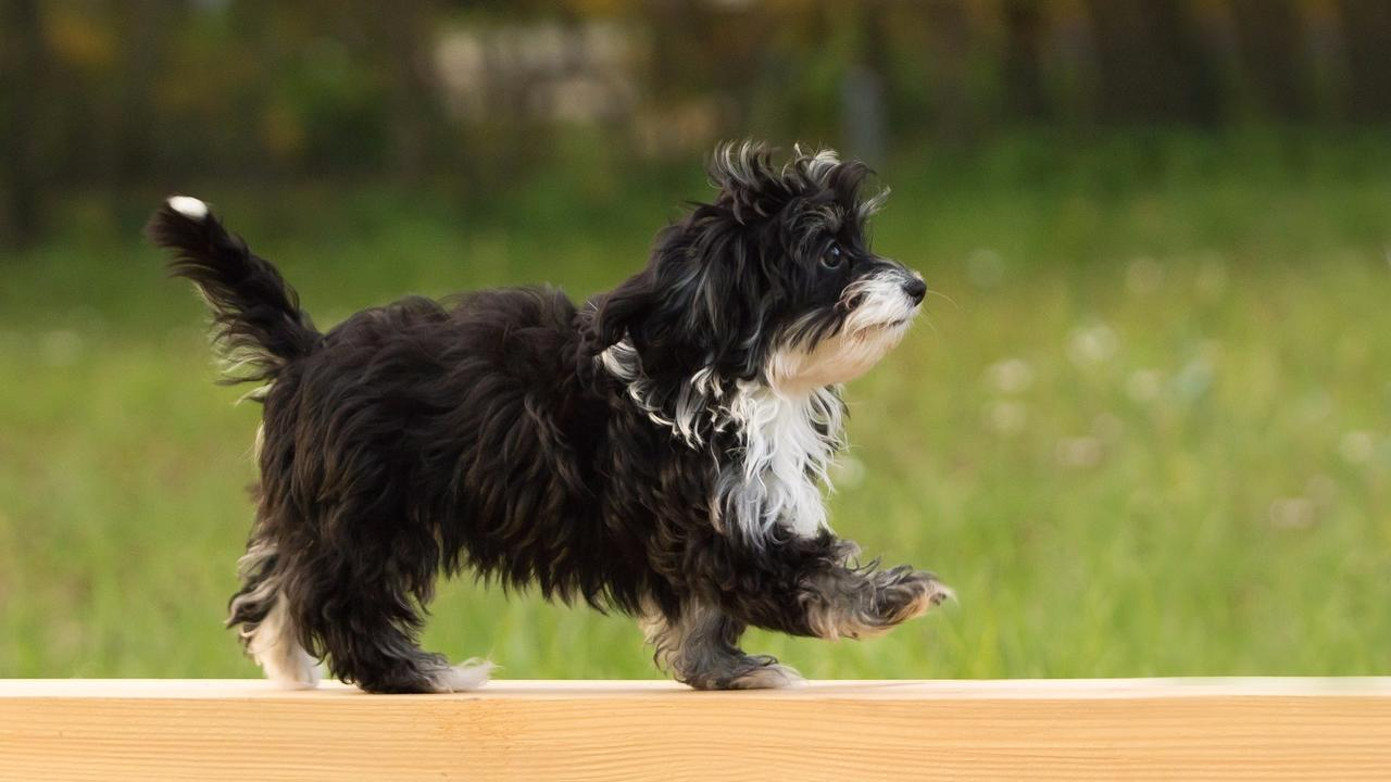 Wujkuxr8qmohewfzxapj puppy on plank s ed