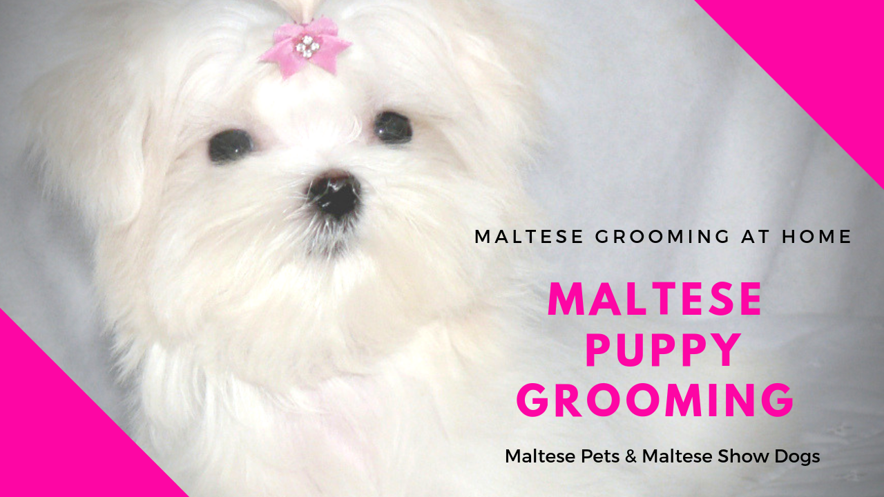 Maltese Puppy Grooming How To Groom At Home