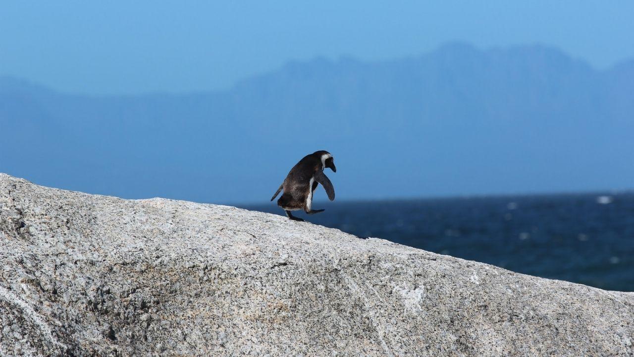 penguin walking away