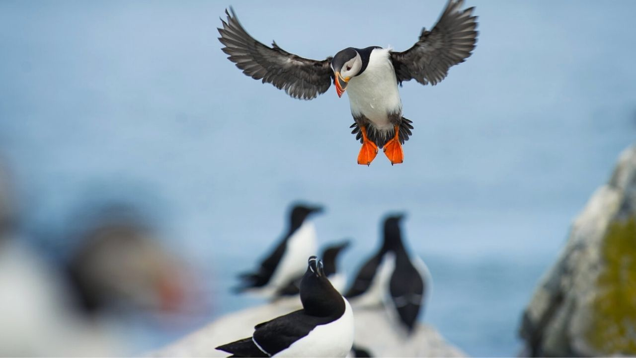 puffin clashing with another sea bird