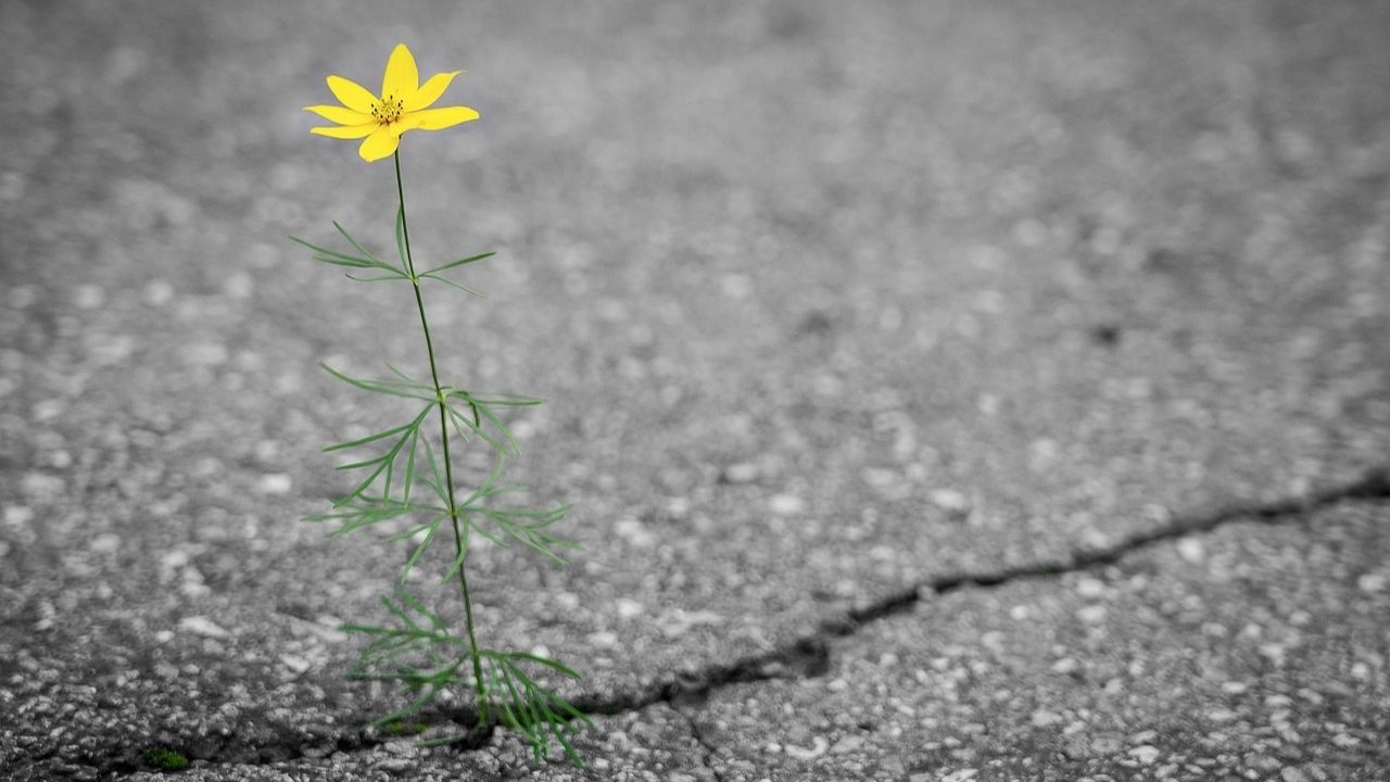 yellow flower growing from crack in tarmac