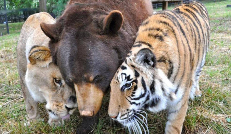 a bear being caressed by two lions