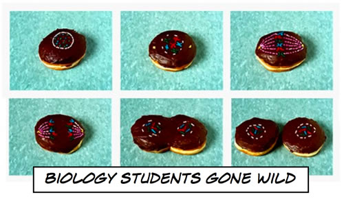 Cellular mitosis demonstrated on donuts
