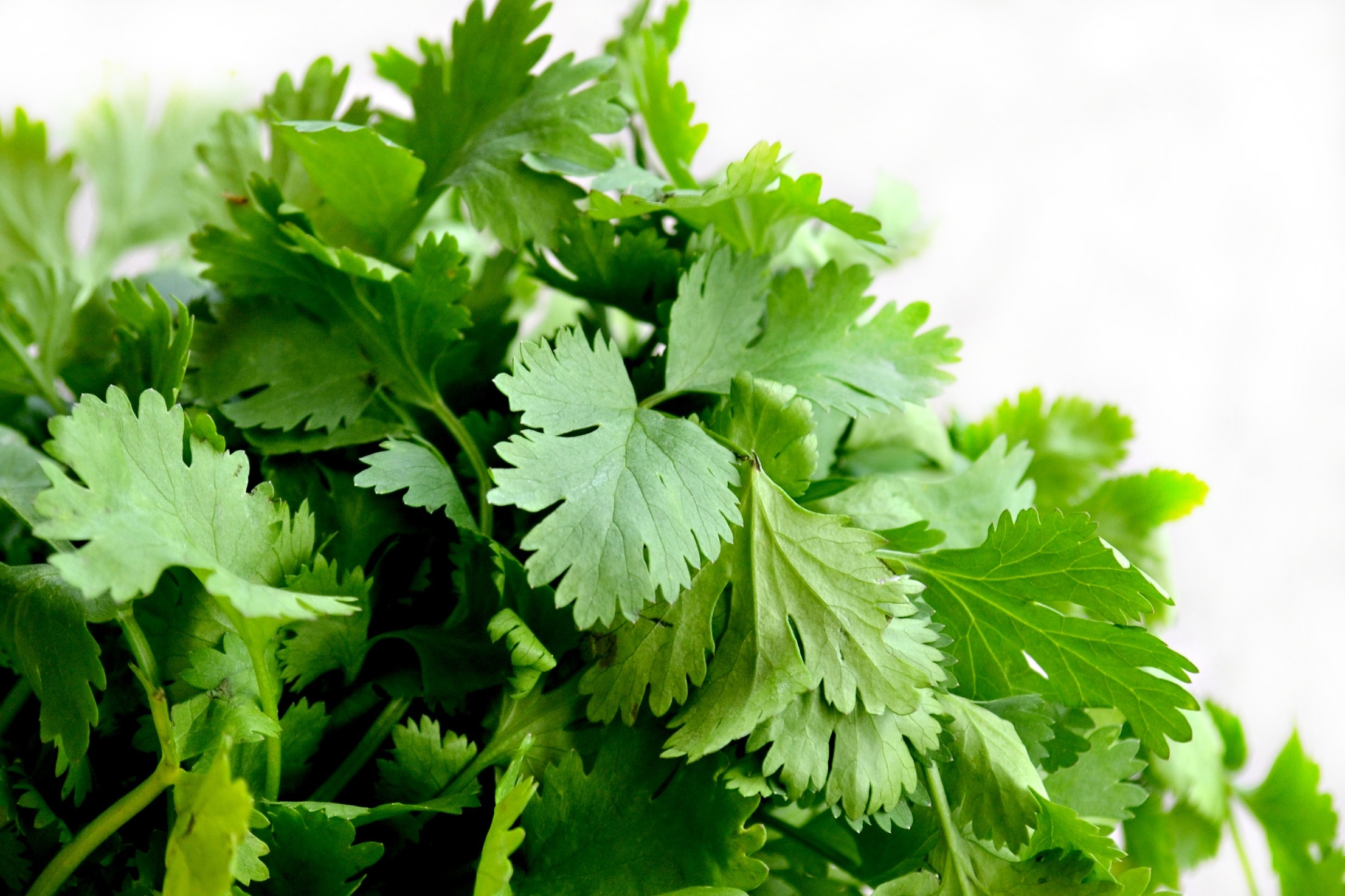 cilantro leaves for cilantro mint chutney