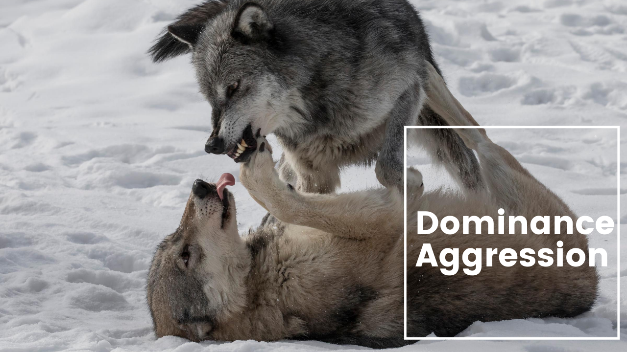 Metropawlitan Dog Training - Dominance Aggression