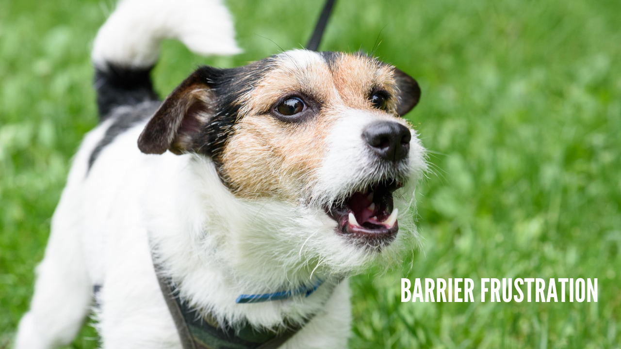 Metropawlitan Dog Training - Barrier Frustration