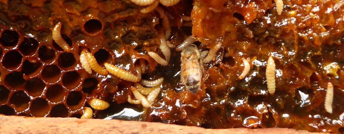 small hive beetle slime