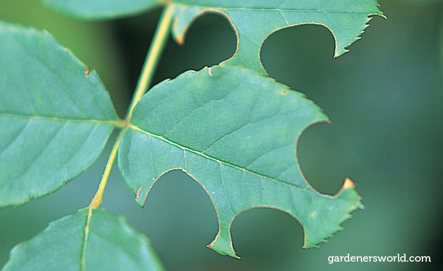 leaf cutter bee holes in leaves