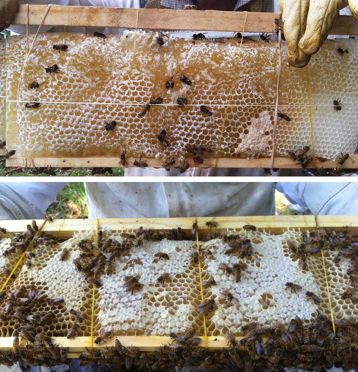 honey frame with rubber bands cross comb