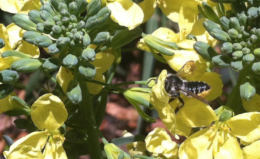 leaf cutter bee on broccoli