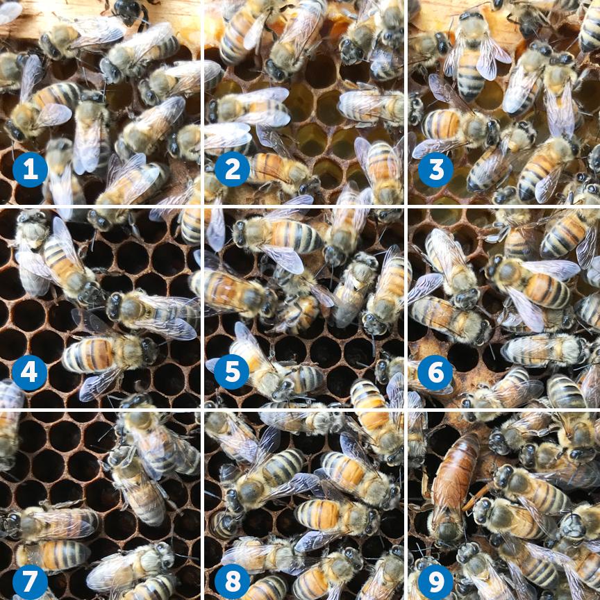 queen bee on frame of honeycomb