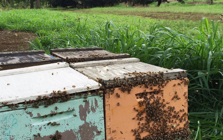 migratory lid on beehives in hawaii