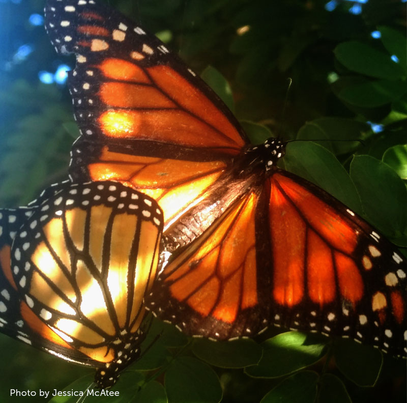 two monarch butterflies mating