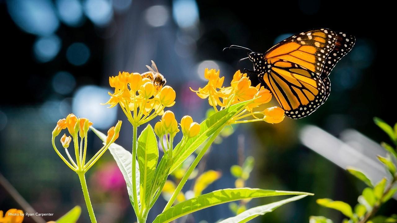 monarch butterfly on an orange flower