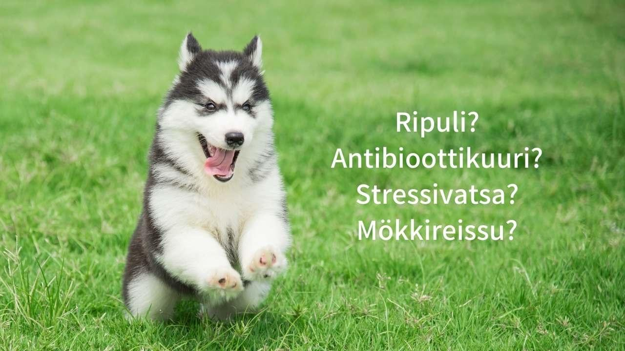 Parhaat maitohappobakteerit koiralle ripulin hoitoon