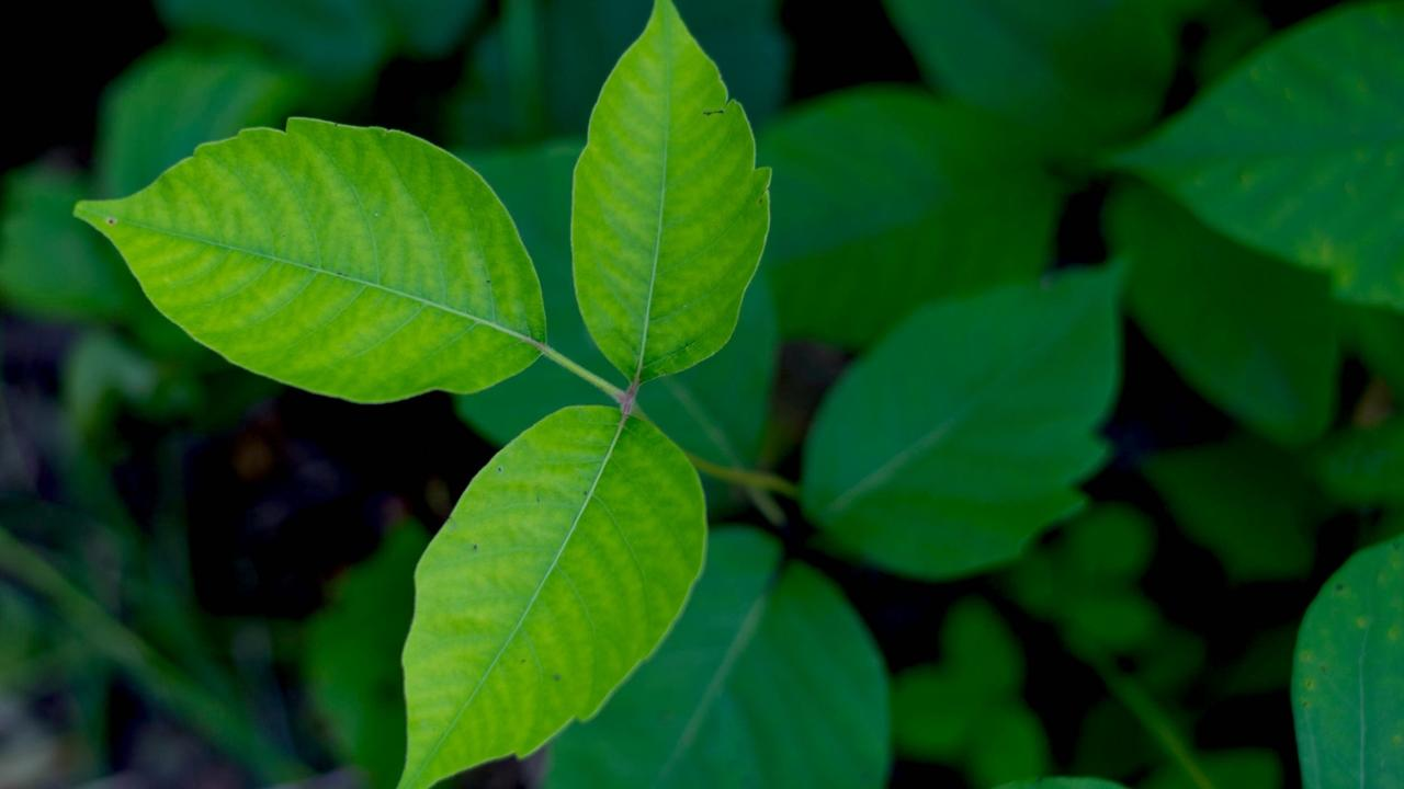 Whether you're a gardener, herbalist, hiker, or nature lover, learn to identify poison ivy's 3 leaf structure