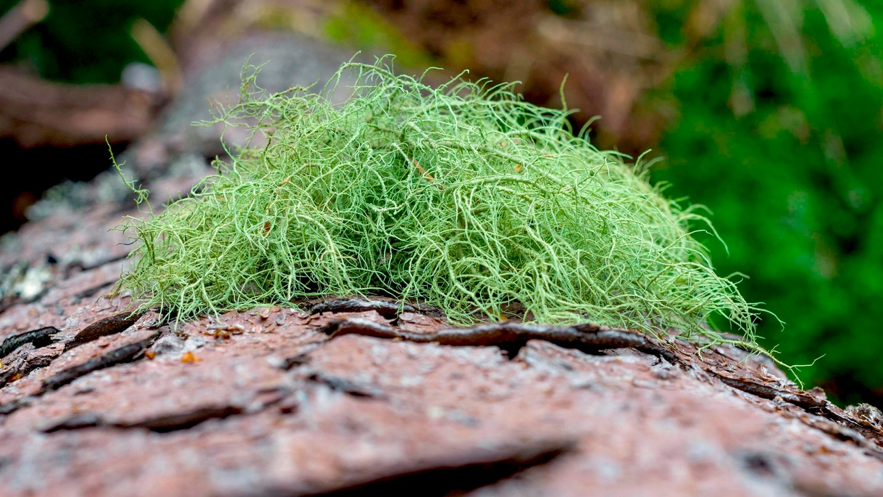 Usnea, an immune enhancing lichen used in herbal medicine, also known as old man's beard