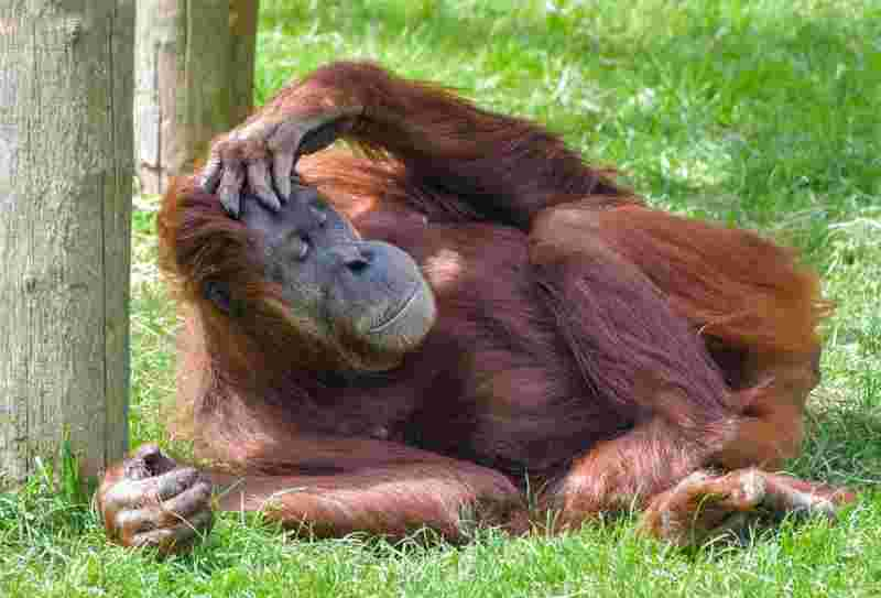 an orangutang sleeping on the grass