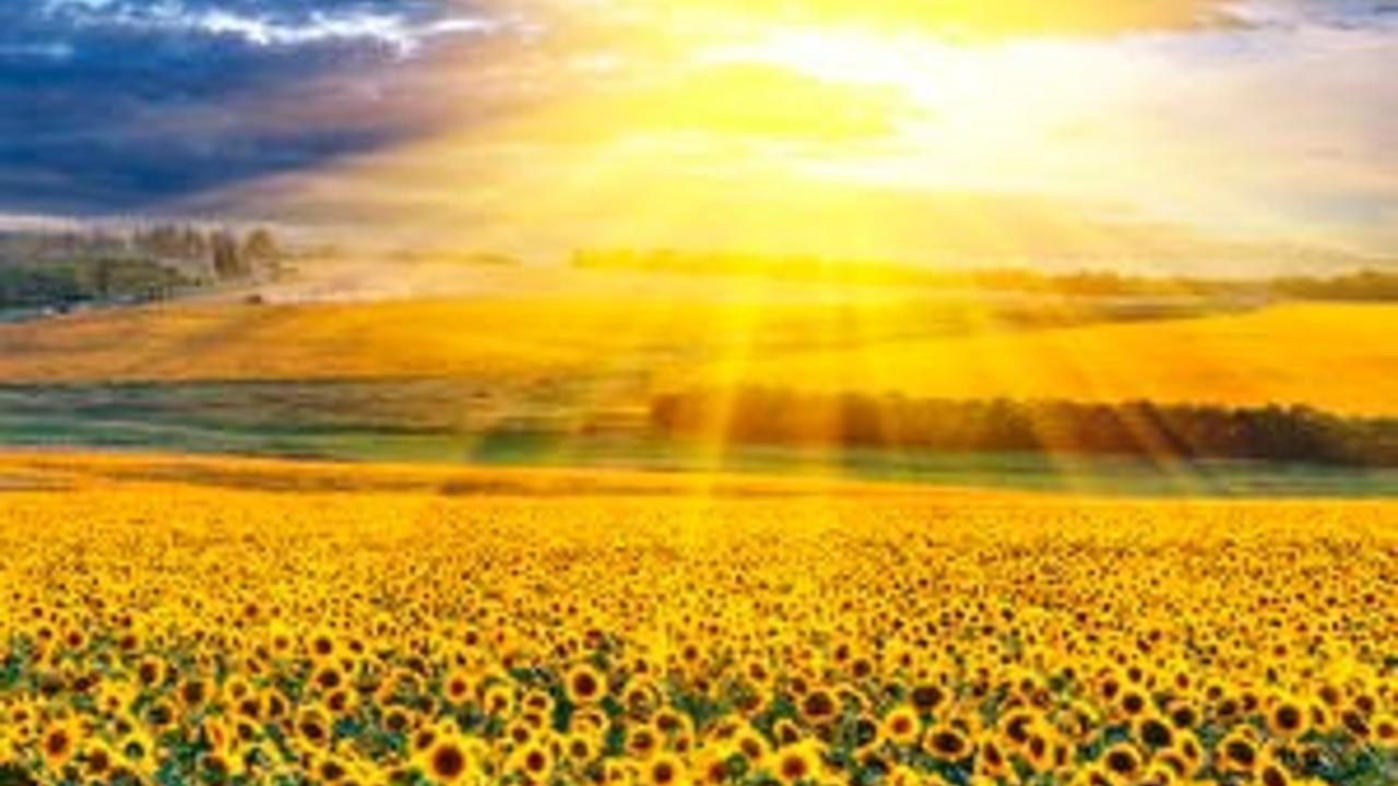 Cmfw07nftnmldswq2gz3 scenery fields sunflowers sky many 537007 300x207