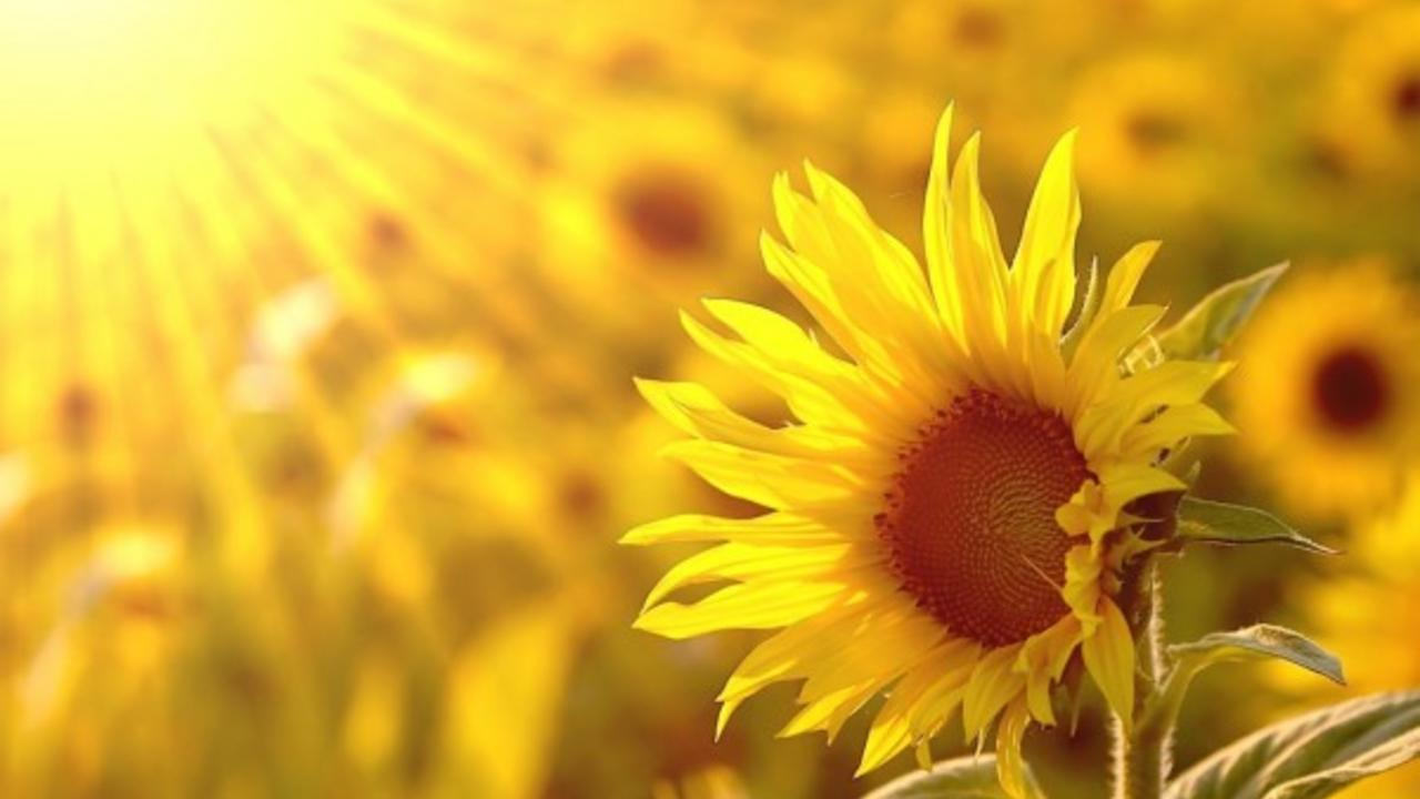 Kitncg10tmueja81vtof depositphotos 2846275 stock photo sunflower in the field