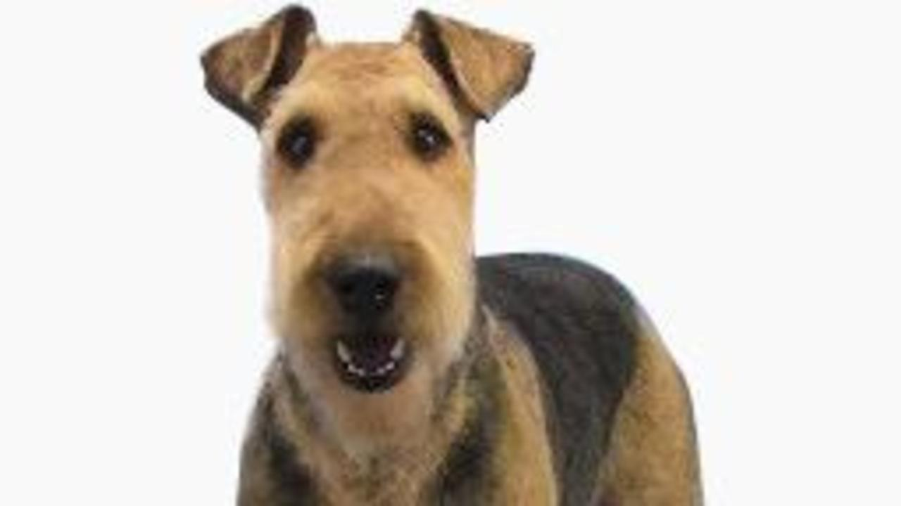 How To Groom The Airedale Terrier Pet