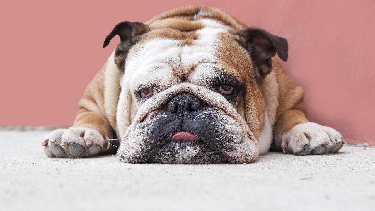 Bpkrjesyt2midbfnabzq lazy singer bulldog logo