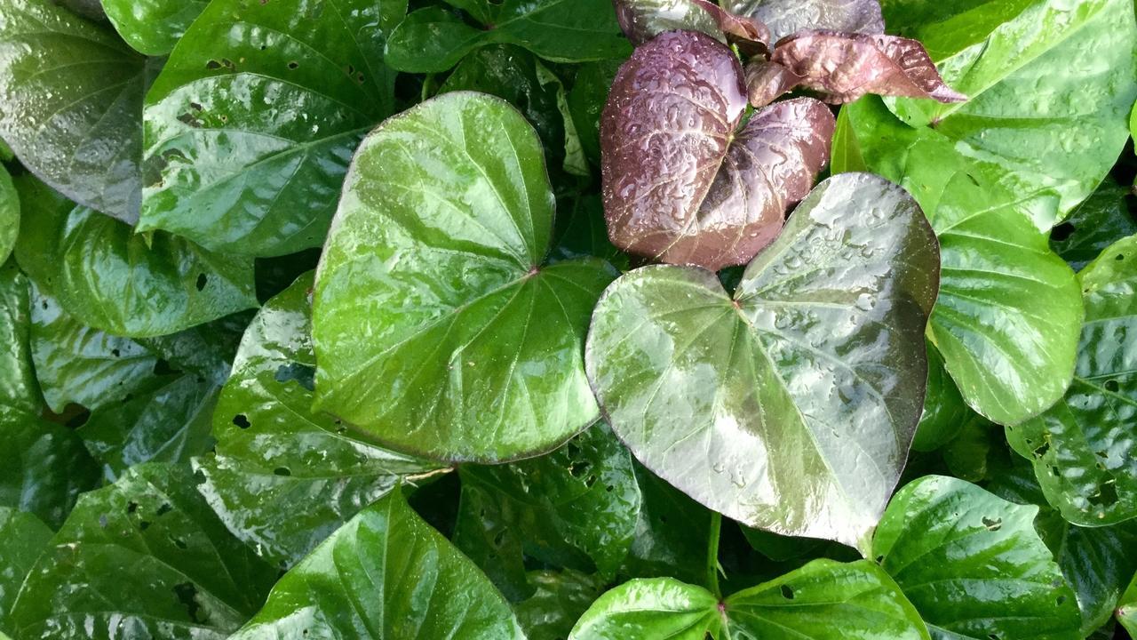 Du6ipvjnql6yivly90qy copy of sweet potato leaves