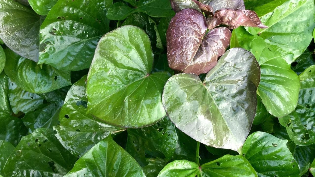 Yuhrtplbrwelt0vbfork moxv8ultswe6rgutsgq9 copy of sweet potato leaves