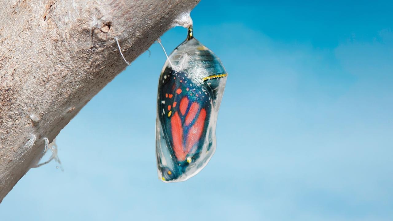 Tnz9hx40t5mku3jjeu4n canva   monarch butterfly idanaus plexippus nside chrysalis cocoon seconds before emerging