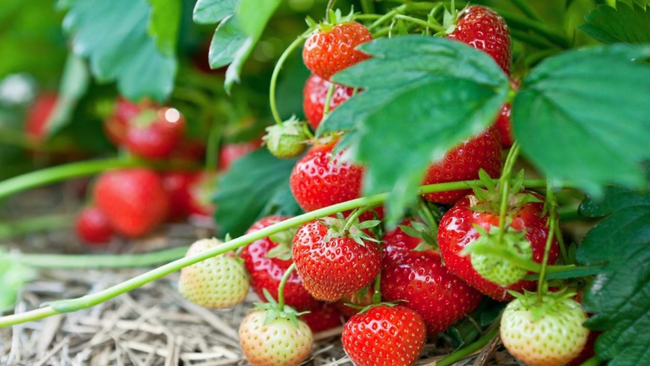 Litnosmqxyfxixyexiew strawberry beds shutterstock 56673922