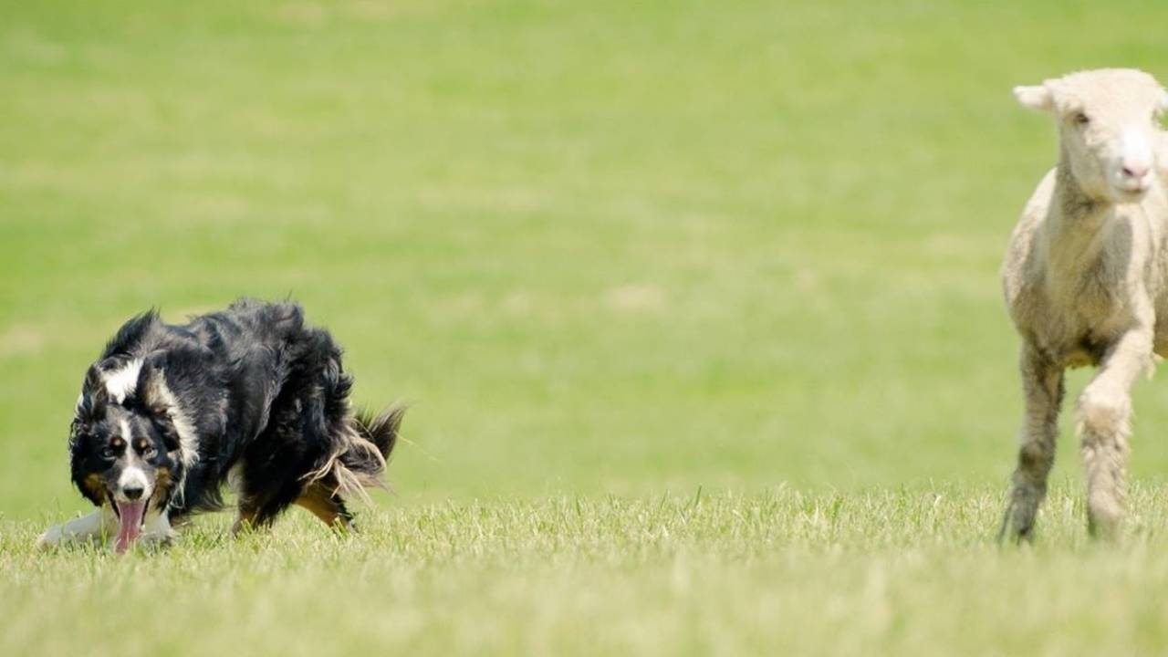 Border Collie puppies, Border Collie training and herding instruction
