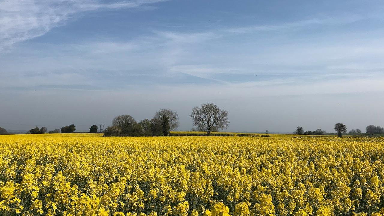 Fields of yellow rape