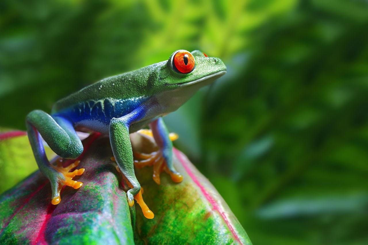 Panama Tree Frog
