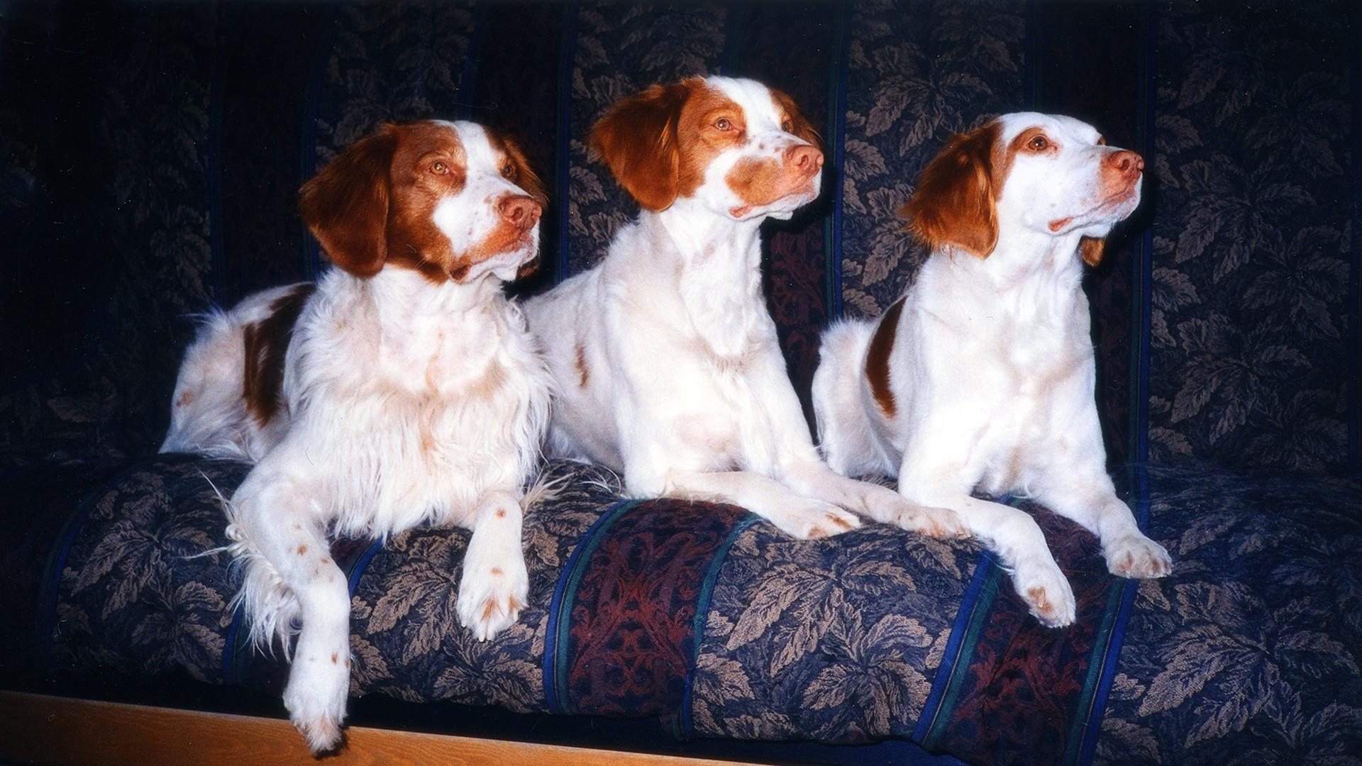 Photo of our Brittanys Storm (Boo's Grand Sire), Chief (Boo's Sire) and Spirit (Boo's Grand Dam)