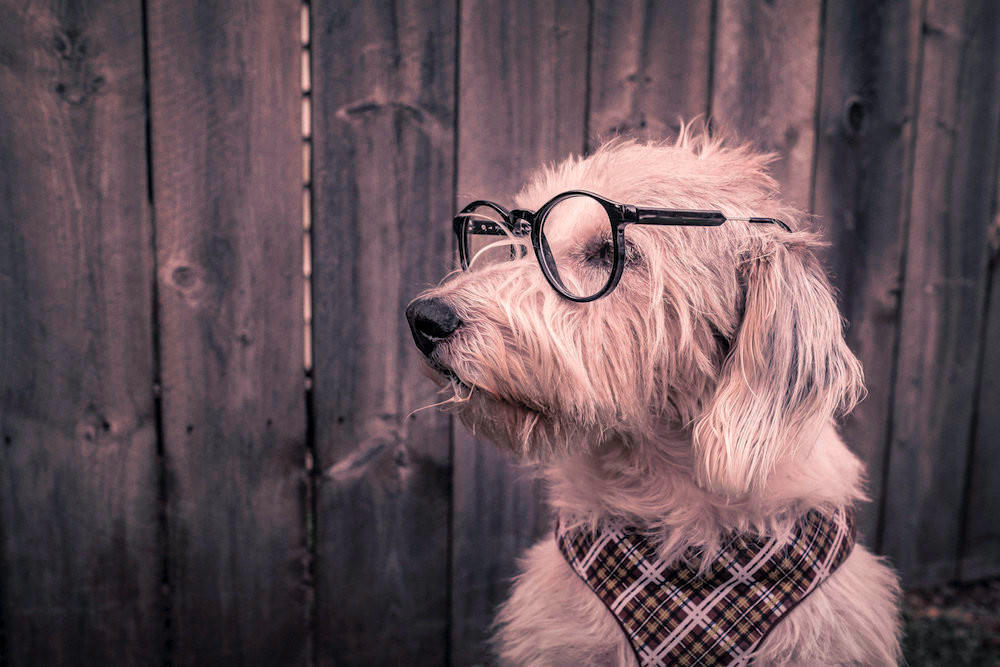 Get your marketing set-up in 8 weeks program - picture of a dog with glasses