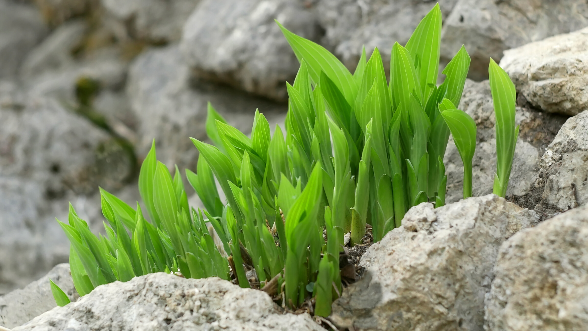 Green plant growing among rocks