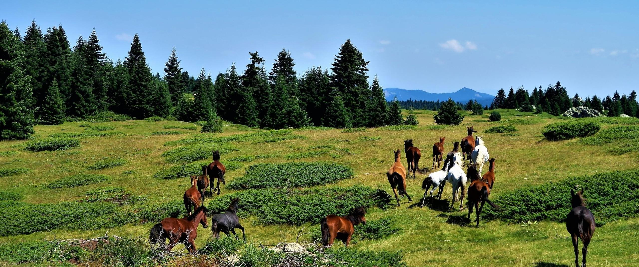 Frolicking horses