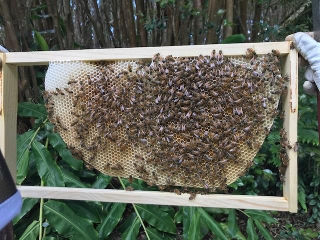 beekeeping class student holding a frame of bees
