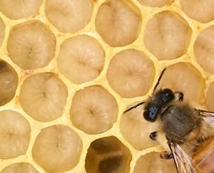 honey bee and larvae