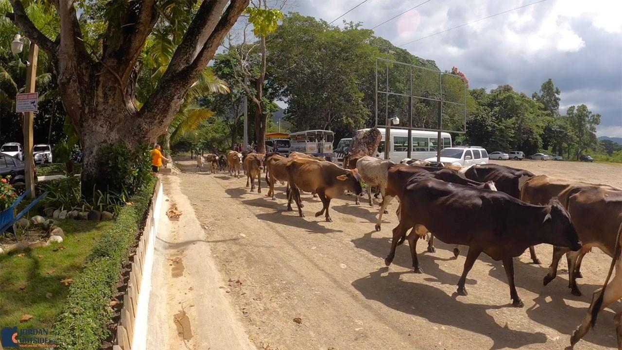 Cows crossing the road at Damajagua Waterfalls
