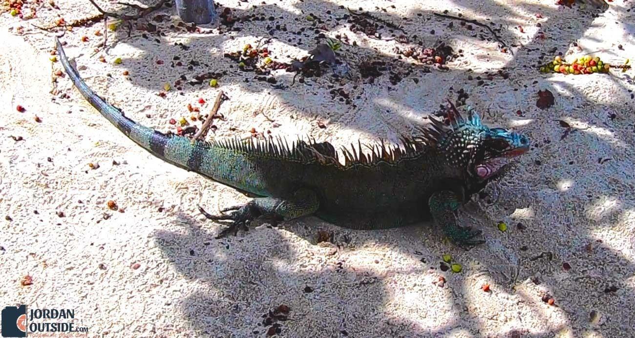 Iguana at Magen's Bay Beach