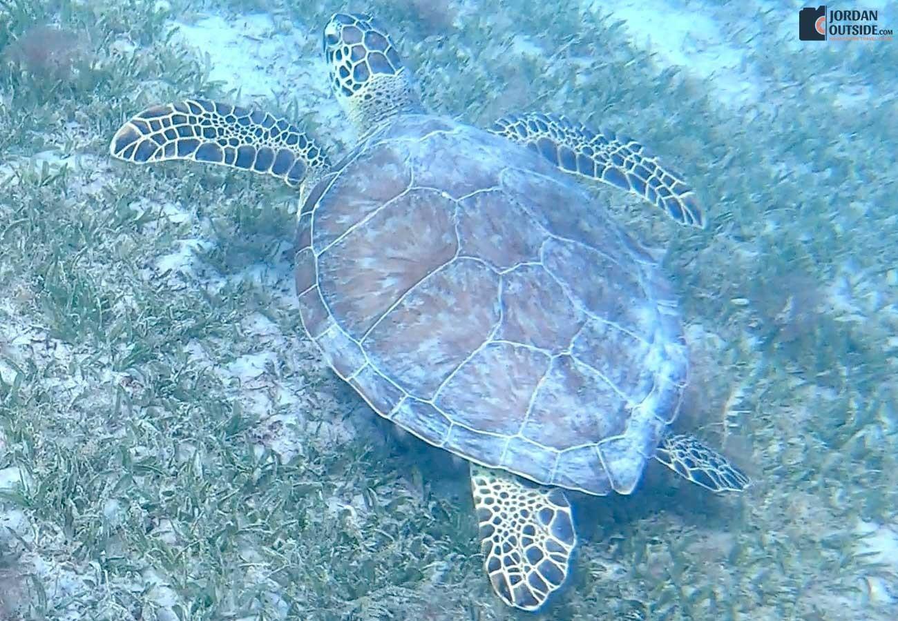 Turtle at Magen's Bay Beach