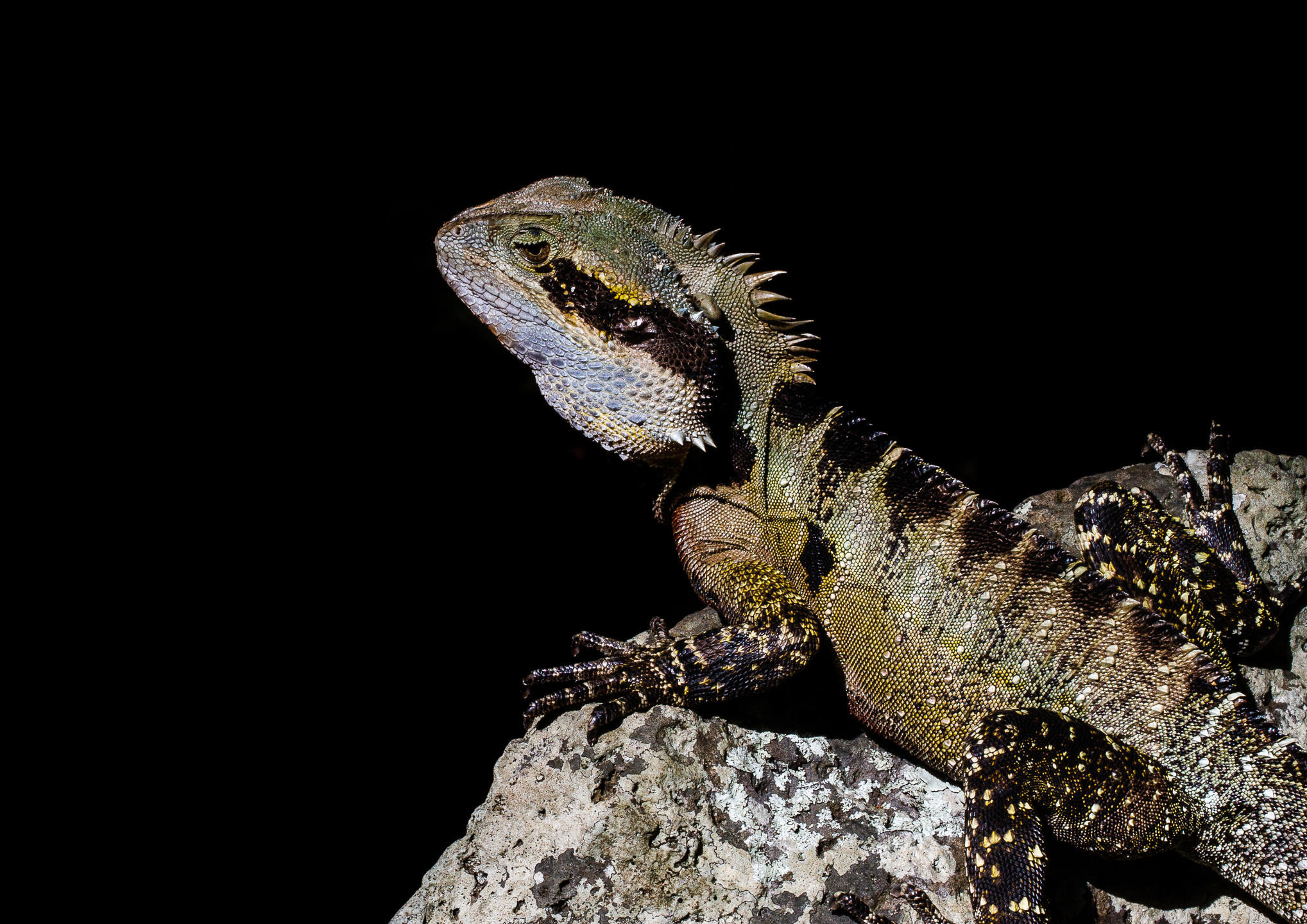 A Bearded Forest Dragon sitting on a rock
