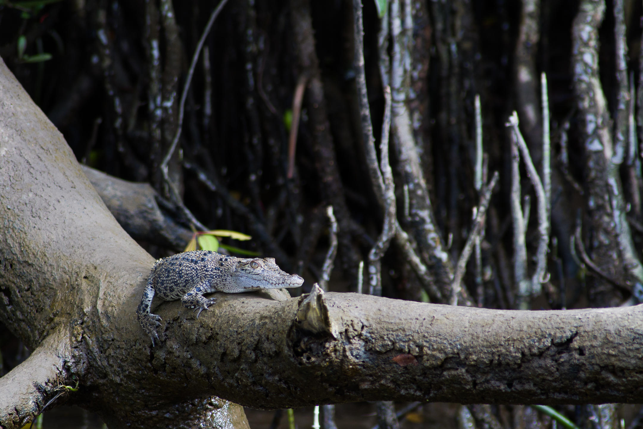 A young crocodile sits on a branch