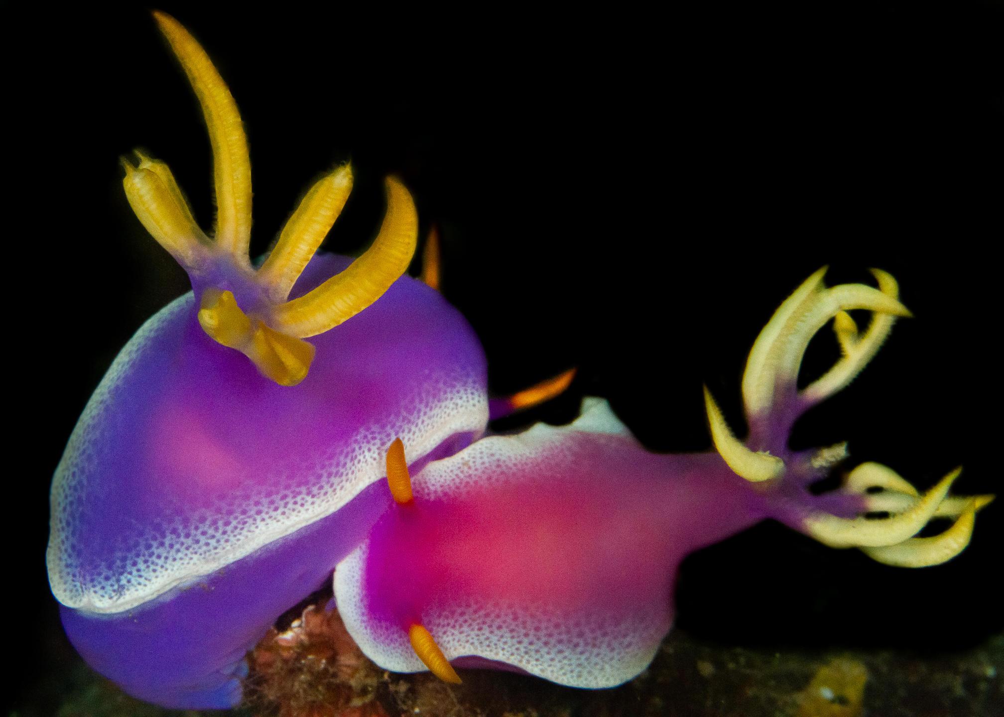A pari of pink and yellow nudibranchs or sea slugs