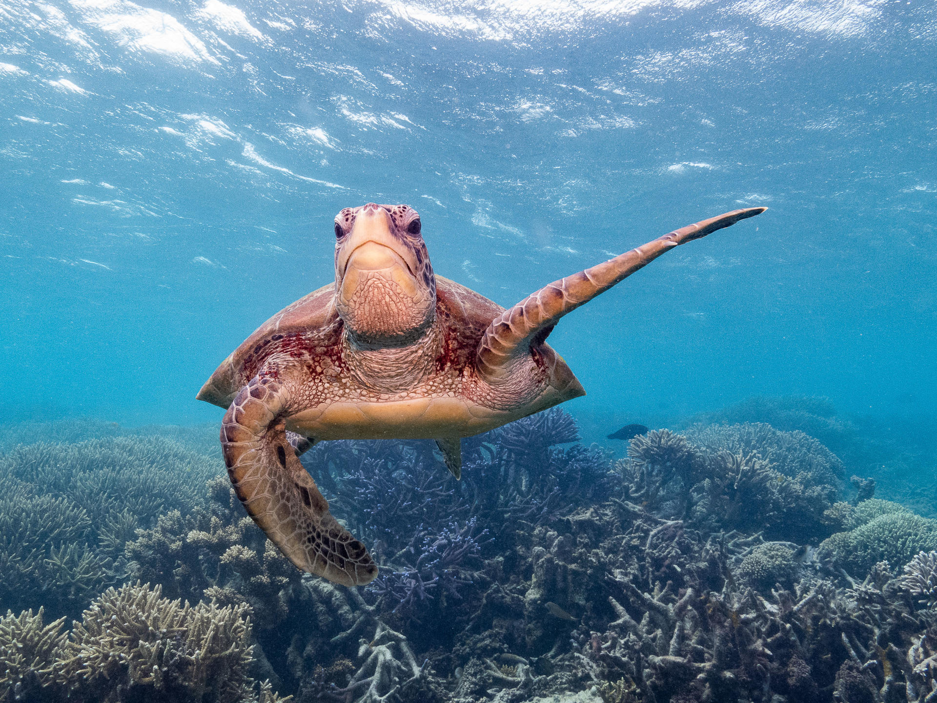 A turtle swimming on the Great Barrier Reef