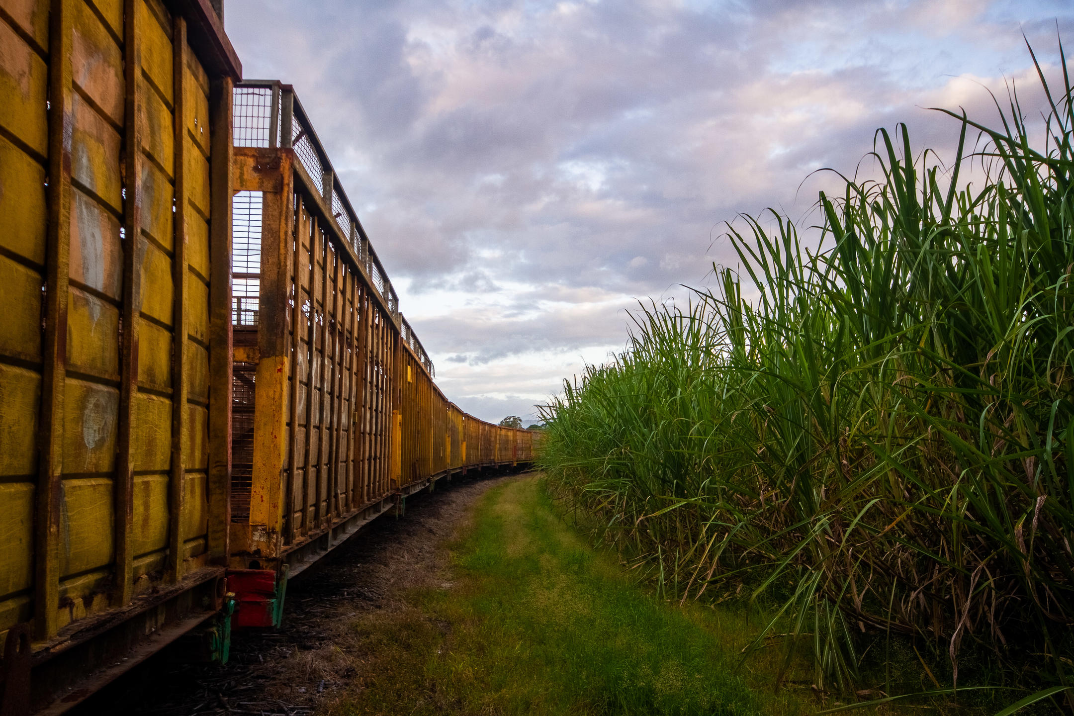 An empty cane train sitting next to a sugar can field which is ready for harvest.
