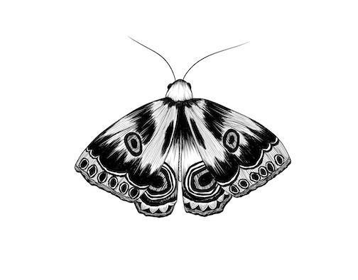 moth illustration