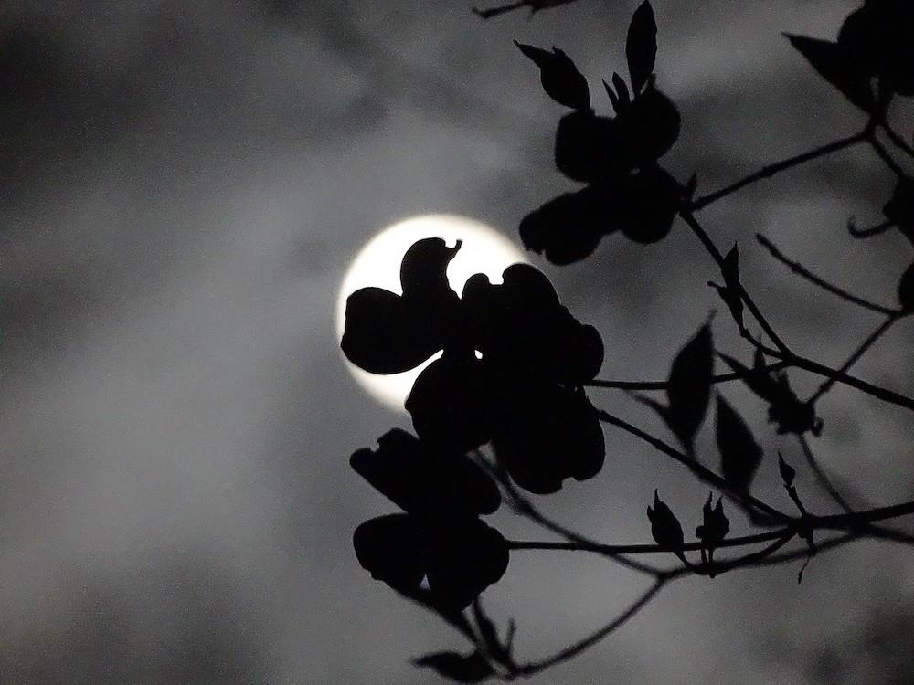 full moon with a dogwood blossom, reflecting natural cycles of the seasons and full moon to dark moon in the Wise Woman Tradition