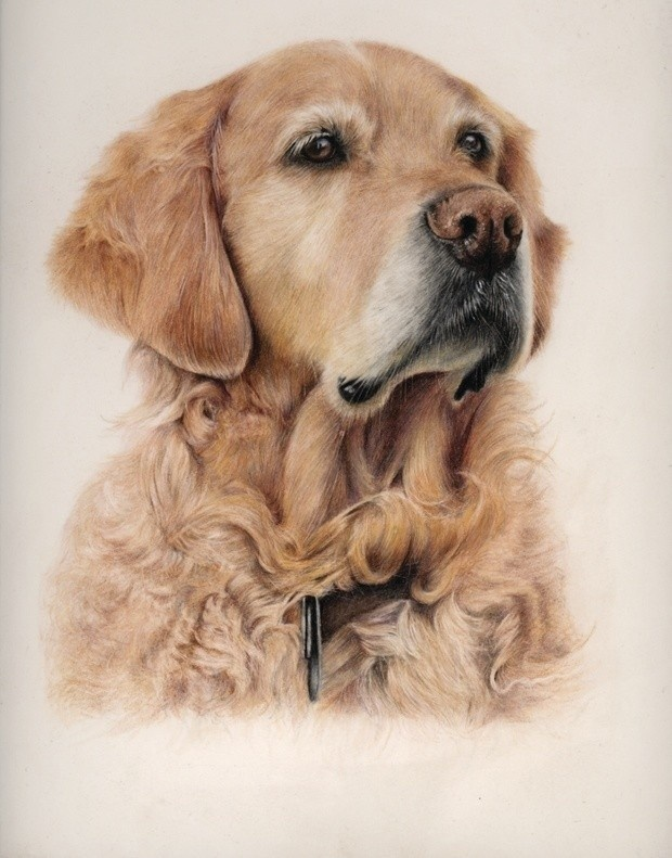 Golden Retriever - Step by Step Guide - Patreon - Bonny Snowdon Fine Art